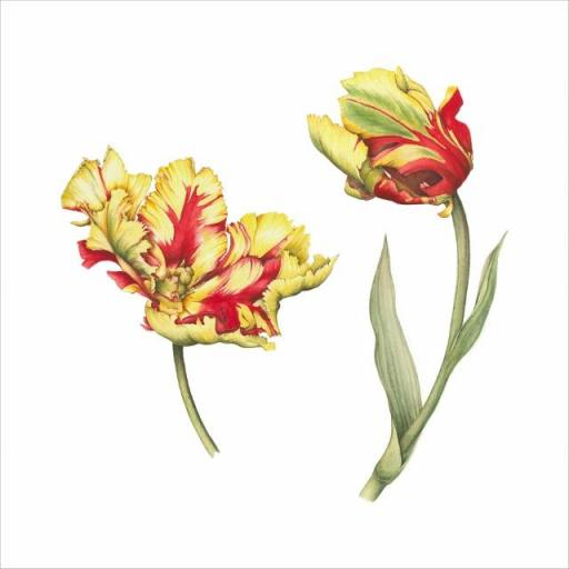 Texas Flame Tulip Print