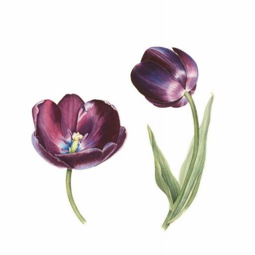 Queen of Night Tulip Print