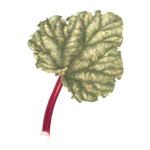 Rhubarb Print